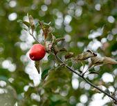 Red autumn apple — Stock Photo
