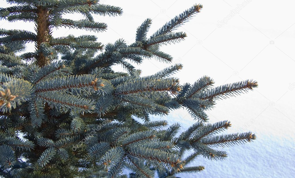 Branches of a young furtree on snow background — Stock Photo #1065132
