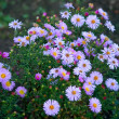 Beautiful lilac asters - Stock Photo