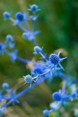 Blue prickle on green — Stock Photo