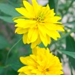 Yellow flowers - Foto Stock