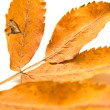 Leaf of a mountain ash — Stock Photo