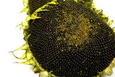 Slunečnice 2 — Stock fotografie