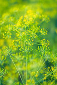 Fragrant fennel on green — Stock Photo