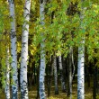 Birches - Stock Photo