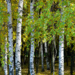 Birches — Stock Photo #1368377