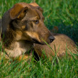 Dog on grass - Stock Photo
