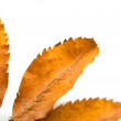 Stock Photo: Leaf of mountain ash