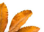 Leaf of a mountain ash — Stock Photo