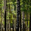 Stock Photo: Green fur-trees and birches