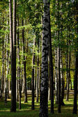 Green fur-trees and birches — Stock Photo