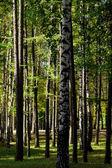 Зеленые ели и березы — Стоковое фото