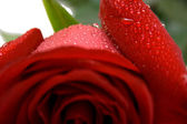Wet red rose — Stock Photo