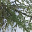 Branches of a young fur-tree — Stockfoto #1585386