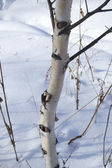 Birch against snow — Stock Photo