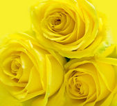 Yellow roses on yellow — Stock Photo