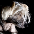 Chinese Crested Dog — Stock Photo #1986623