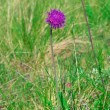 Flower of a thistle against green grass — Stock Photo