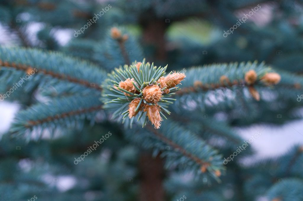 Branches of a young fur-tree. Natural abstract background — Photo #1993392