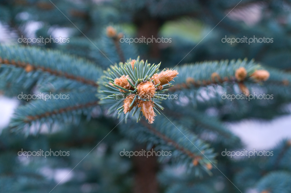 Branches of a young fur-tree. Natural abstract background — Стоковая фотография #1993392