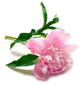 Peony flower on white — Stock Photo