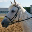 Stock Photo: Portrait of a white horse