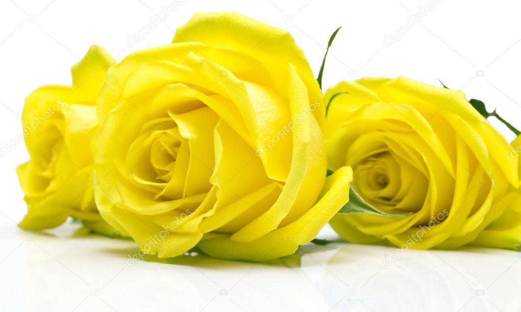rosas amarillas sobre fondo blanco � Foto stock � vikiri #2016039