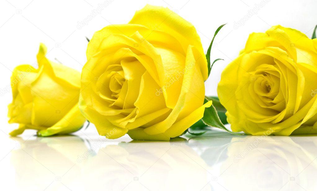 Rosas amarillas sobre fondo blanco � Foto stock � vikiri #2018884