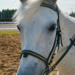 Portrait of a white horse — Stock Photo #2077813