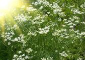 Fresh fragrant fennel and sun — Stock Photo