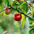 Red autumn apples - Stock Photo