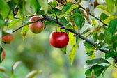 Red autumn apples — Stock Photo