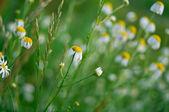 Wild chamomile — Stock Photo