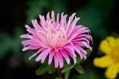 Schöne rosa und gelbe blumen — Stockfoto
