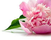Pink peony flower — Stock Photo