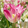 Tulip — Stock Photo #1163712