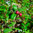 Cowberry. — Stock Photo #1088933