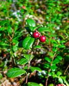 Cowberry. — Stock Photo