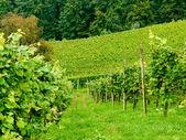 Wijngaard in slovenië. — Stockfoto
