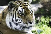 Tigre de sibérie — Photo