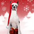Xmas Dane — Stock Photo