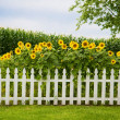 Stock Photo: Sunflower fence