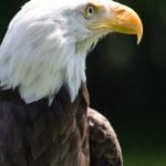weißkopfseeadler — Stockfoto