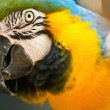 Royalty-Free Stock Photo: Parrot