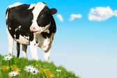 Laughing Cow — Stock Photo