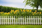Sunflower fence — Stock Photo