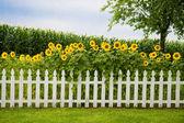 Sunflower fence — Stock Photo