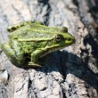 Frog sitting on the wood — Stock Photo