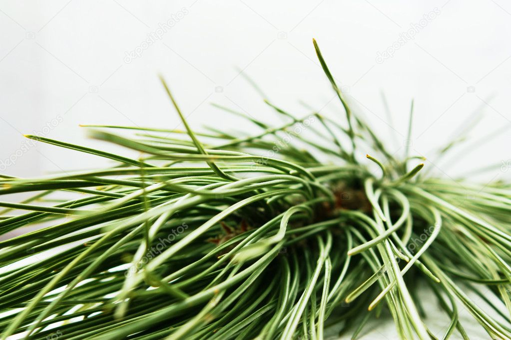 Pine-tree branch — Stock Photo #1140371