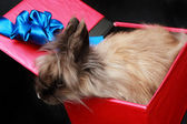 Rabbit in red box with blue ribbon — Stock Photo